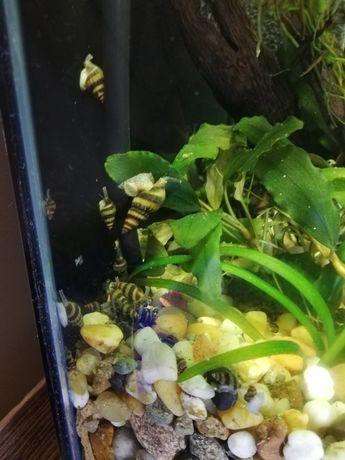 Ślimaki Helenki Helenka do akwarium