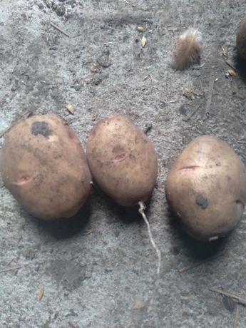 Посадкова картопля