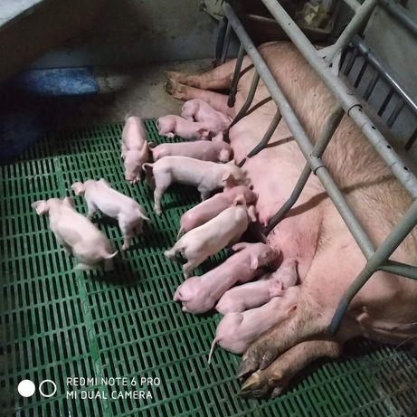 Свиноматки Осемінені ремонтні свинки F1