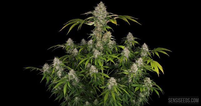 Nasiona marihuany White Widow - automaty femki 10 szt + 1 gratis