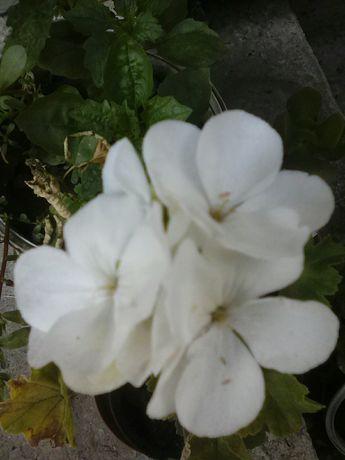 Продам герань цветущую