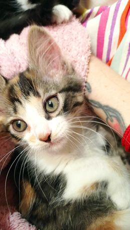 Котёнок девочка 2.5 мес в добрые руки