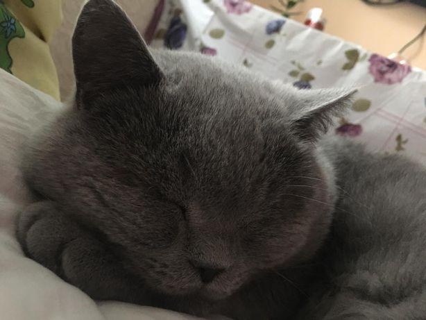Кіт британець