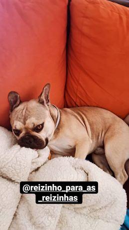 Bulldog francês para acasalar