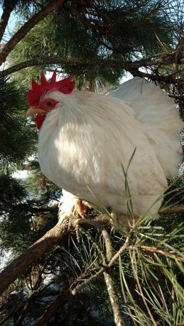 Півень Кохінхін карликовий, кури, курчата.