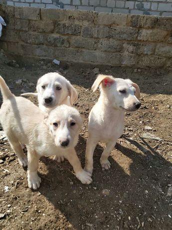 Подарю 3х месячных щенят для охраны