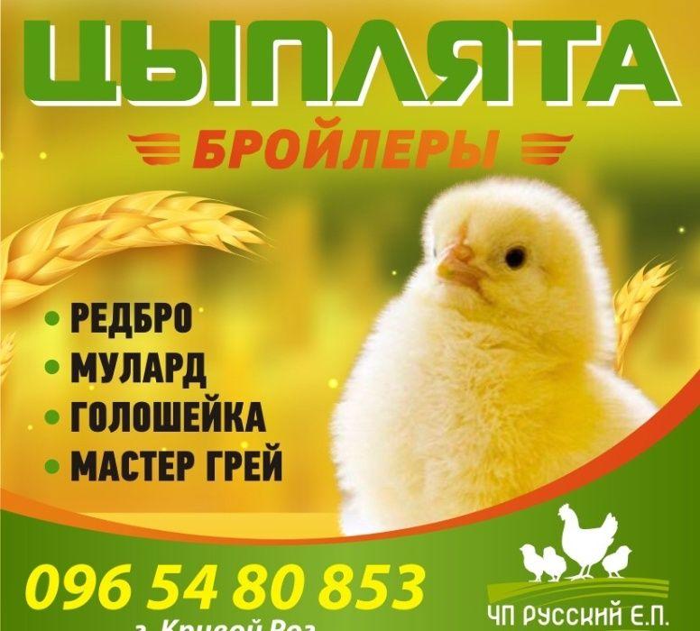 Продажа суточных цыплят Каменское - изображение 1