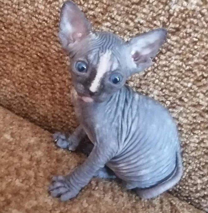 Продам котят канадского сфинкса Мариуполь - изображение 1