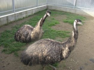 Австралійський страус Eму (Эму)