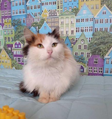 Трехцветная Эмони - очень ласковая кошка ищет дом