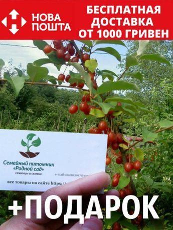 Гуми (лох многоцветковый) семена 10 шт насіння на саджанці саженцы