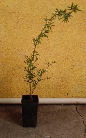 Romãzeira árvore