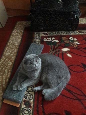 Шотландський котик запрошує на в'язку)