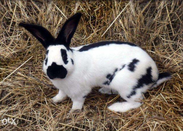 Кролики-Строкачи, Словакия.Куры Орпингтон