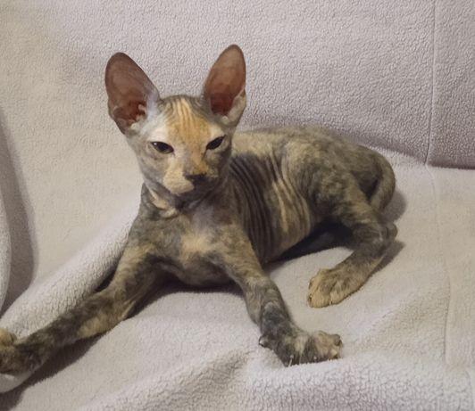 Донской сфинкс, котенок, 3 мес.
