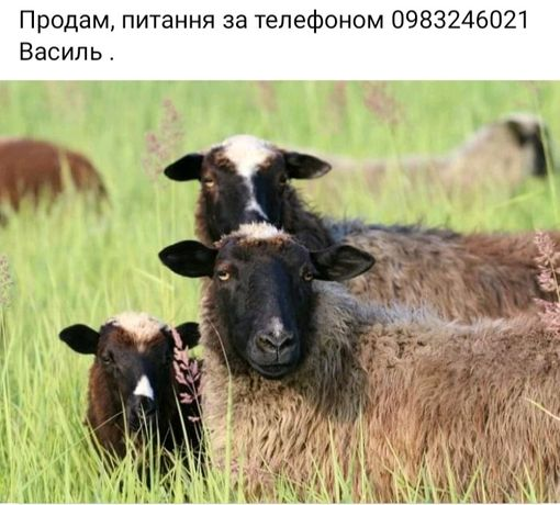 Вівці, ціна договірна