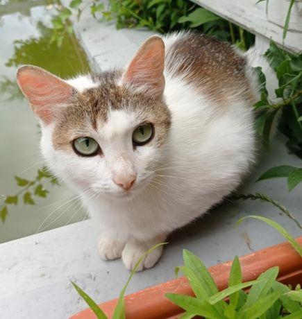 Отдам белую кошку в частный дом или квартиру