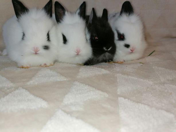 Sprzedam królik króliczki miniaturka