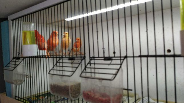 Vendo canários e outras aves