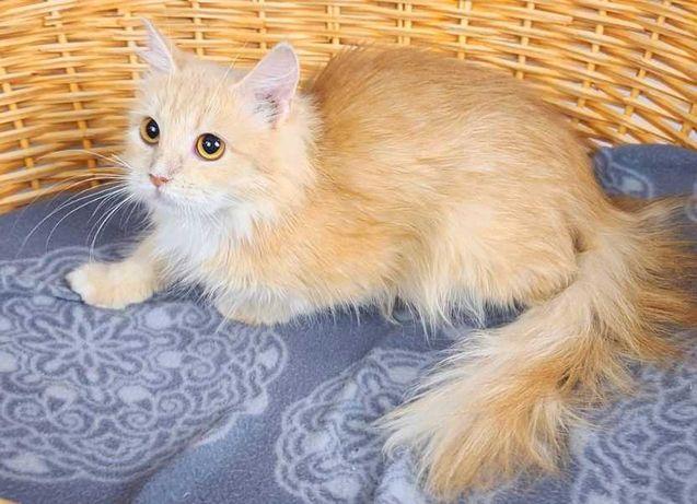 Руденька Лазурь шукає саме ВАС!!! Руде кошеня, кішка 6 міс