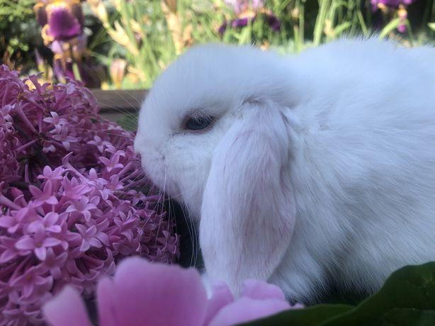 Декоративний кролик,карликовий кролик,міні кролик,