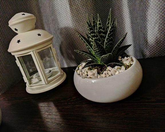 Biała ceramika sukulent aloes
