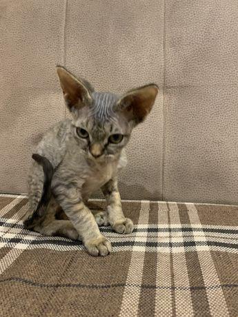 Продам чистопородного котенка Девон-рекс