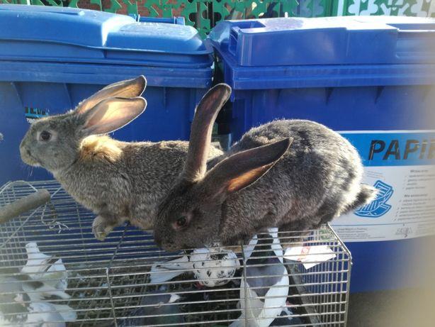 króliki belgi mieszańce