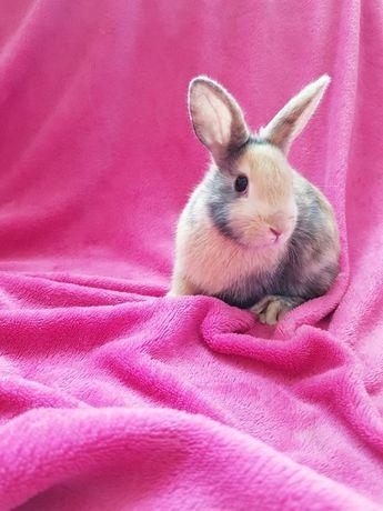 Królik króliki miniaturka