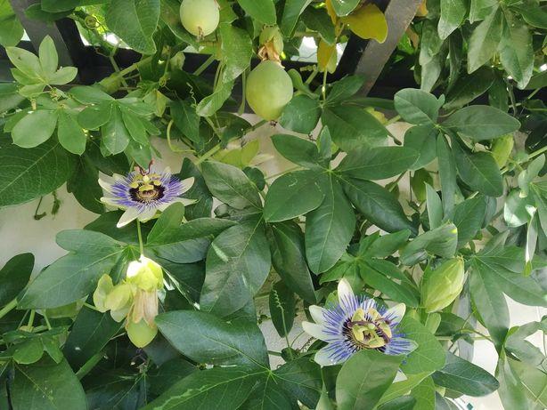 Flor Azul da Paixão, maracujá do brasil, maracujaleiro