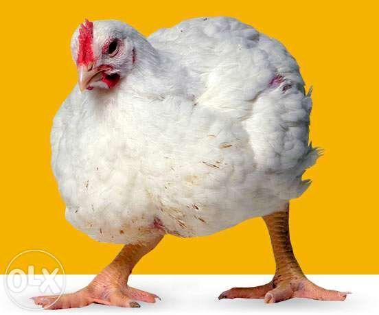 Цыплята кур Кобб 500, Ломан браун, Мастер Грей, Фокси, Голошейка, утки