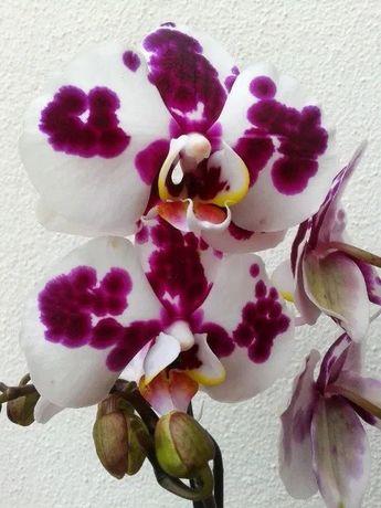 Orquídeas de INTERIOR