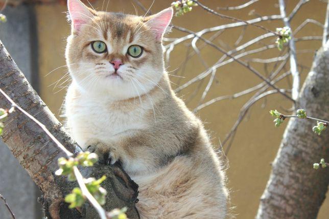 Британский шикарный котик.