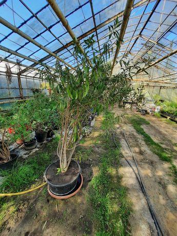 Oleander różowy pełny - wysokość 170 cm