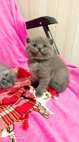 Продам шотландского котёнока