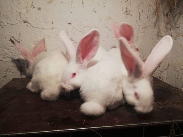 Młode króliki-olbrzymy belgijskie