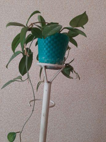 Хоя молодое растение ( цвет- белый)