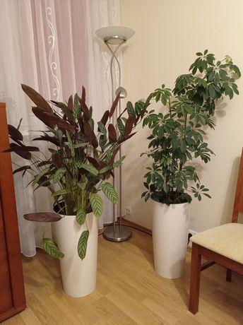Kwiaty: Szeflera i Calathea - komplet