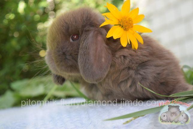 Очаровательный крольчонок! Карликовый вислоухий кролик. Девочка