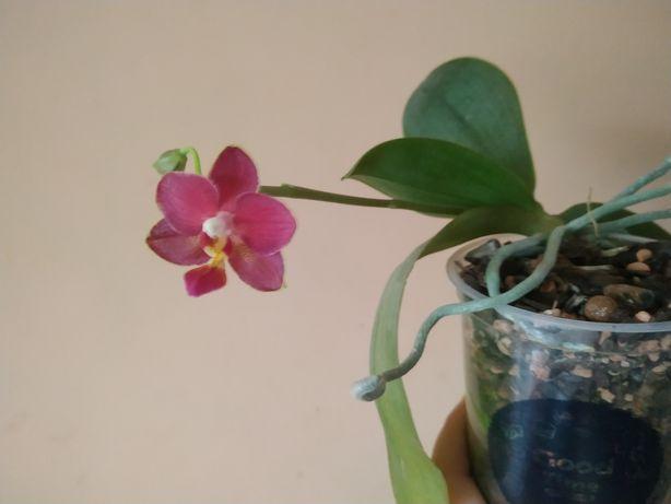 Продам молодую орхидею Балм