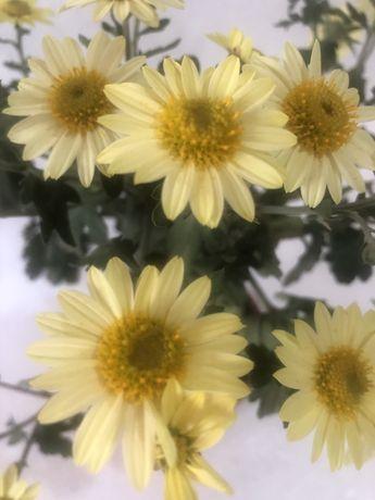 Хризантемы мультифлоры,ирисы,очитки,юка