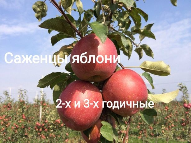 Саженцы плодовых опт и розница