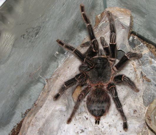 Самка паука голиафа птицеед огромный Лошадиный паук