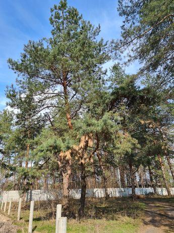 Продам участок под застройку в сосновом лесу