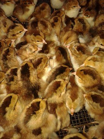 Курчата добові породи Домінант