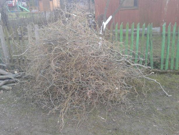 Wierzba kręcone gałęzie -ścięte 5 marca