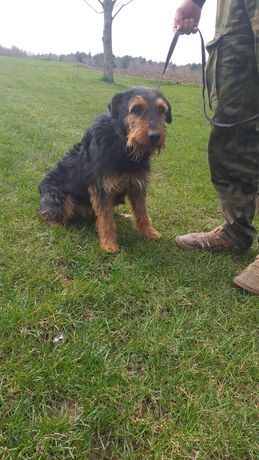 Terier niemiecki pies polujacy