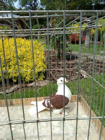 Gołębie saksońskie