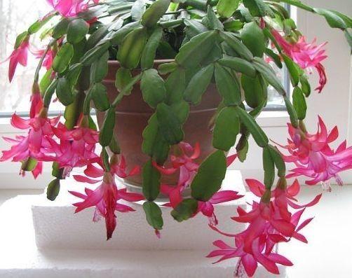 Подарю комнатный цветок