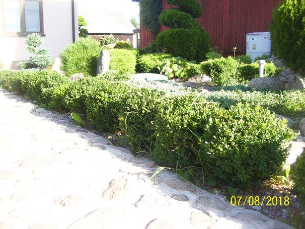 bukszpan ozdobą ogrodów